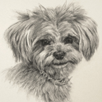 Yorkiepoo Dog Portrait Art Drawing