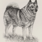 Canine Norwegian Elkhound Charcoal Pencil Portrait Art